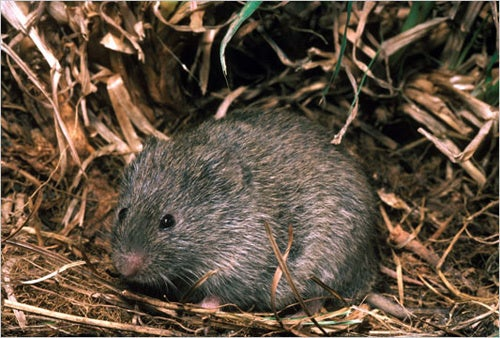 Getting Prairie Voles Drunk Isn't Just For Fun Any More