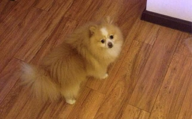 Pomeranian Protests His Haircut By Walking on Hind Legs for Two Days