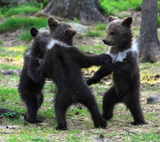Here Is A Picture Of A Few Small Bears Dancing With Each Other