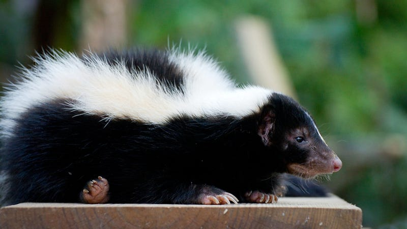 Man Mistakes 9-Year-Old Girl Dressed as Skunk for Real Skunk, Shoots Her With Shotgun