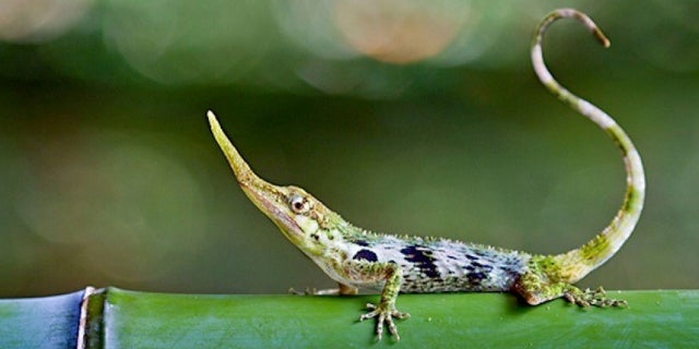This freaky looking lizard was thought to be extinct for 50 years