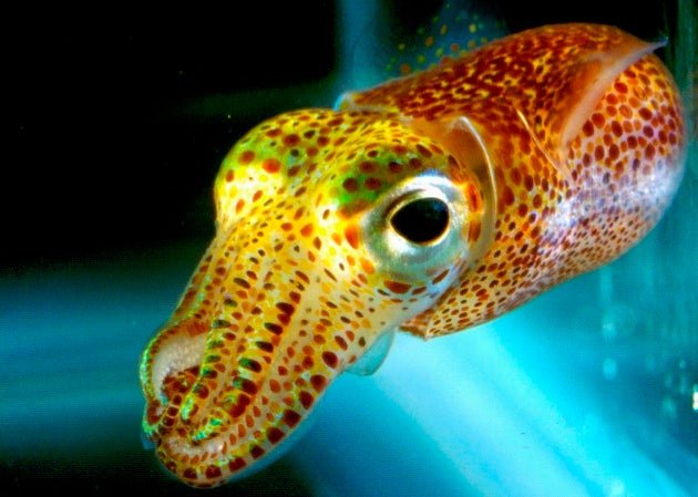 See a tiny squid's amazing natural cloaking device