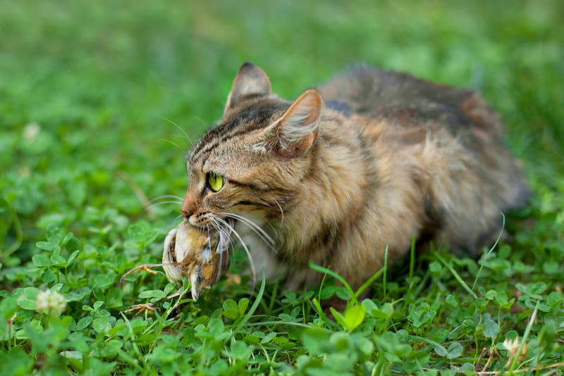 Sorry Cat Lovers, Cats Are an Invasive Species, Too