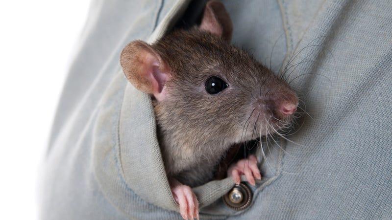 Flight Attendant Denies Smuggling Pet Rat in Her Underwear, Files Suit