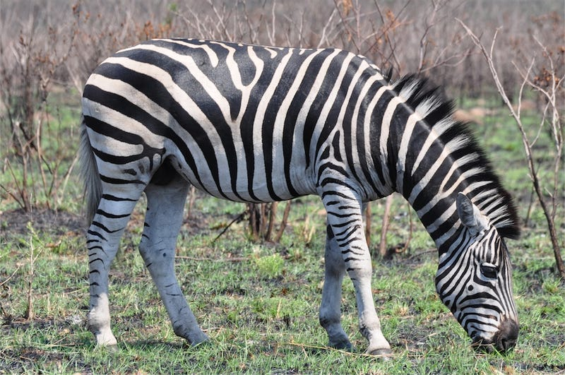 A new scientific explanation for how zebras evolved their stripes