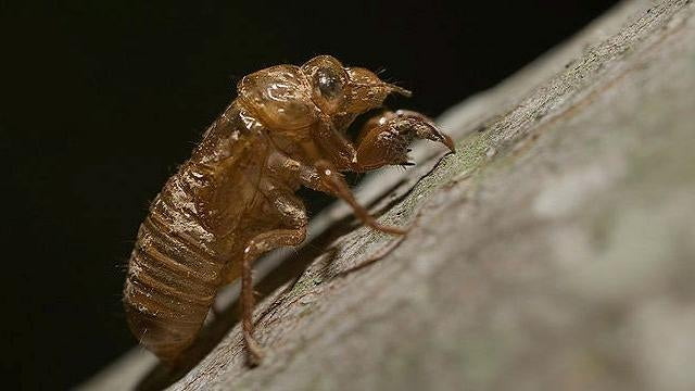 Why do cicadas know prime numbers?