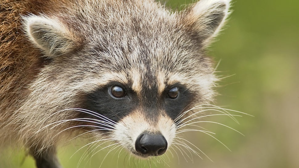 Hero Woman Strangles Rabid Raccoon with Her Bare Hands Raccoon With Rabies