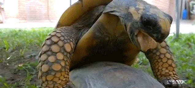 Watching a tortoise having sex is one of the most hilarious things ever