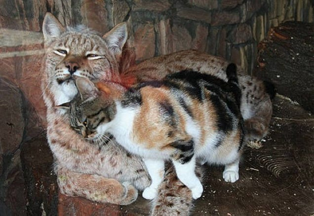 Zoo Adopts Stray Cat After It Sneaks in and Becomes BFF With Lynx