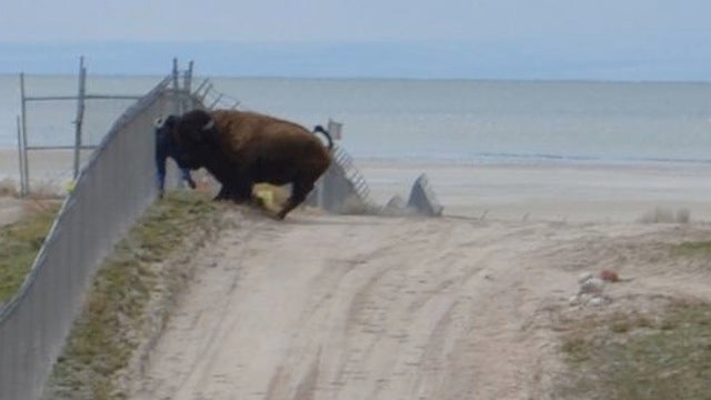 Man Narrowly Escapes Death After Taunting 1500 Pound Bison