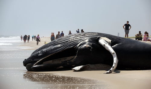 Dead Whale Washes Up On Long Island