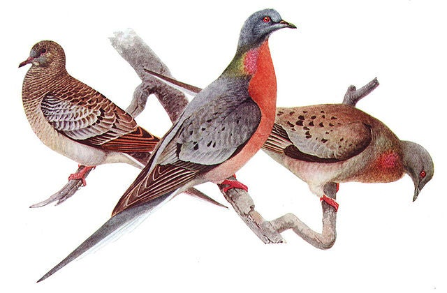 How the Railroad Wiped Out Passenger Pigeons (and Nearly Bison, Too)