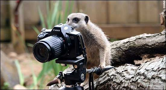 Meerkats - Better at Acting in Nature Shows than Photography