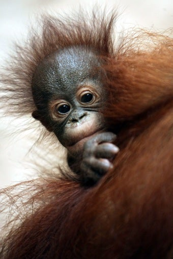 Apes Enjoy Watching You Watching Them
