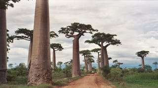 As They Grow, Baobab Trees Hollow Themselves Out From The Inside