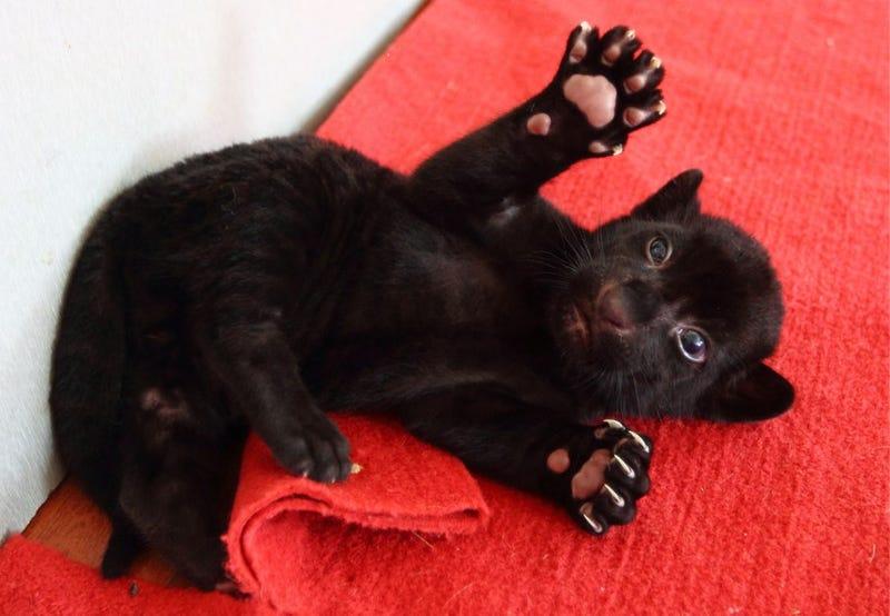 Black Tiger Cub Is Young, Rare, Super-Cute