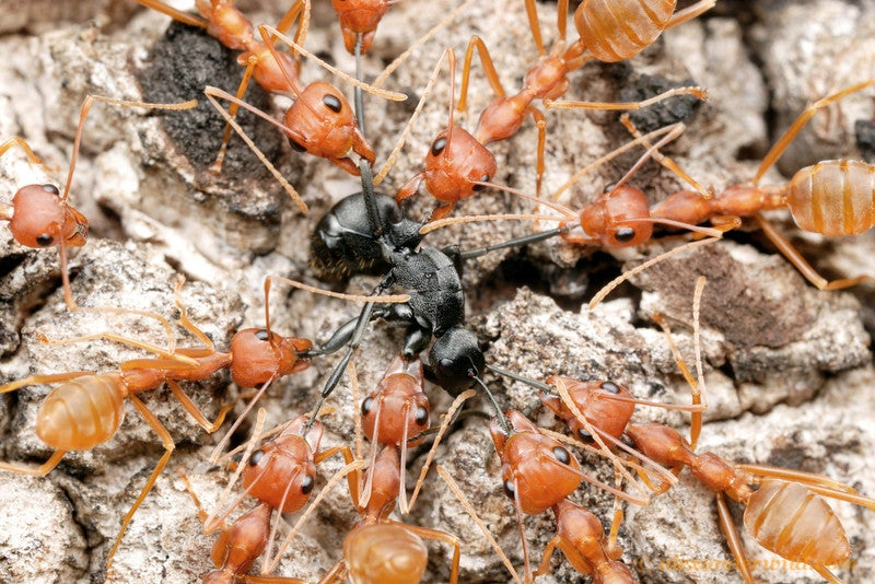 Macrophotographs of ant warfare are downright epic