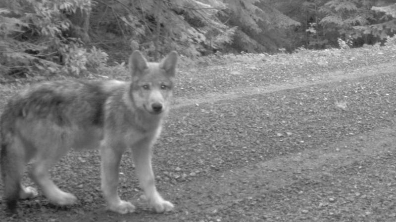 ​These Adorable Wolf Pups Could Be California's First In 100 Years
