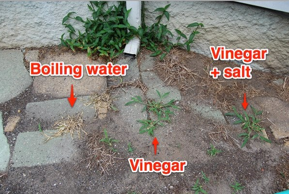 The easiest way to get rid of weeds without harsh synthetic chemicals - Get rid weeds using vinegar ...
