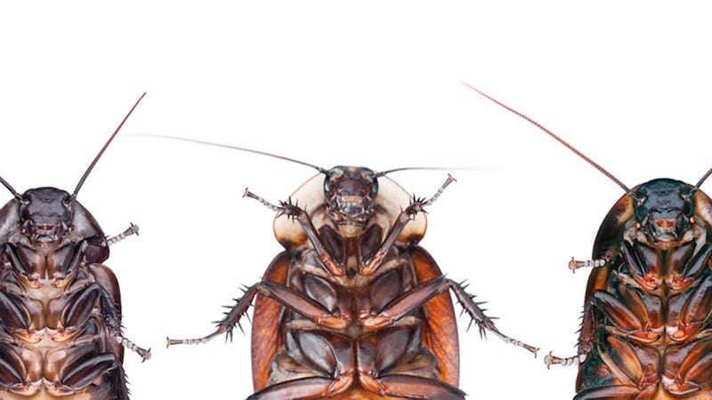 Cockroaches Are Evolving to Avoid Poison, Will Rule Us All
