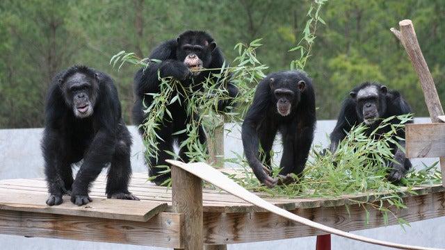 Ex-Lab Chimps Show Remarkable Improvement After Treatment With Anti-Depressants