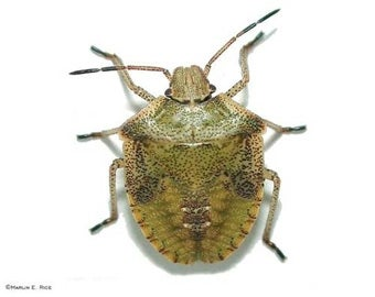 New York to Soon Be Overrun With Stink Bugs