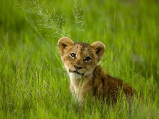 Caturday - Panthera leo Edition