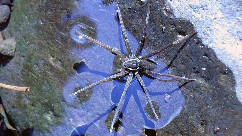 Descubren una nueva especie de araña en Australia que surfea las olas para cazar peces