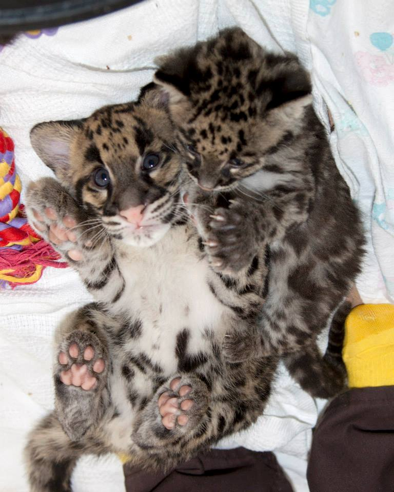 ZOMG BABY CLOUDED LEOPARDS!!!