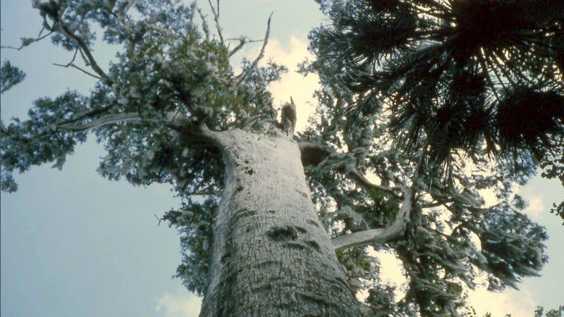 Woman admits to burning down 3,500-year-old tree while smoking meth
