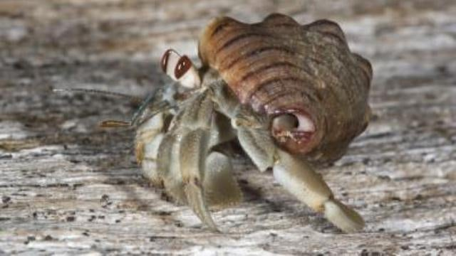 Hermit crabs are the animal kingdom's most dickish neighbors
