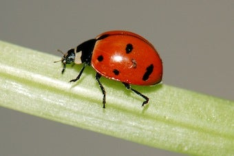 Scientists Need Your Help Locating Lost Ladybugs