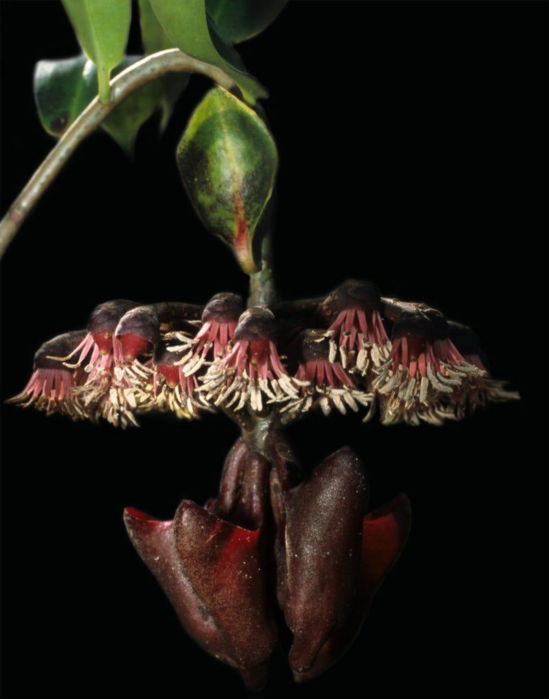 Plants evolve special leaves to make sounds that bats enjoy