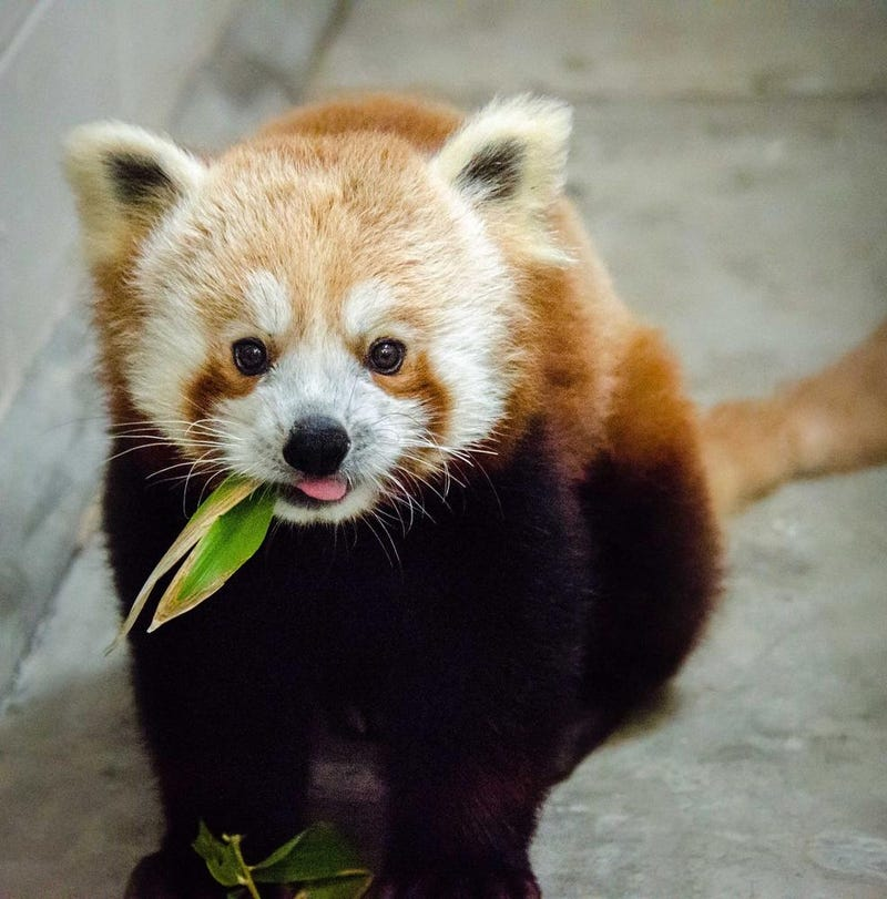 The San Francisco Zoo Got A New Red Panda and He's Adorable