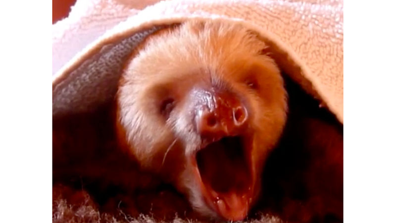 Sloth Singing I Will Always Love You Will Make You Always Love Sloths