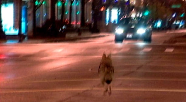 Don't Worry About That Coyote, Chicago, He's Just Catching Rodents