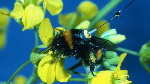 Why is this bumblebee wearing a tiny radar suit?