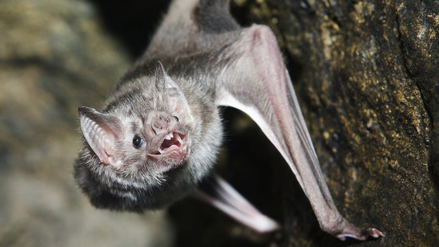 Are bites from vampire bats making people resistant to rabies?