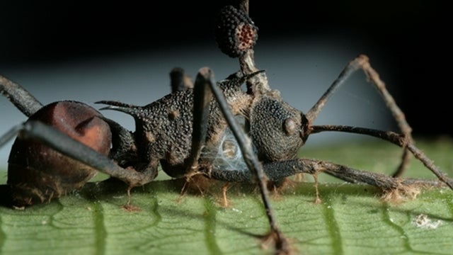 Parasites wage war against zombie-ant fungus