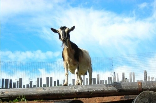 We'll Risk It All for One Goat on the Roof