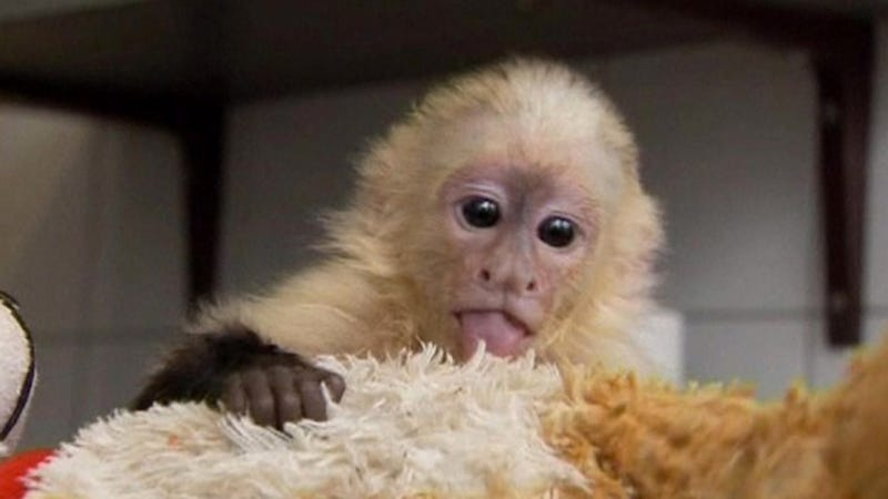 Postcards from Prison: 8 Adorable Images of Justin Bieber's Monkey Under German Quarantine