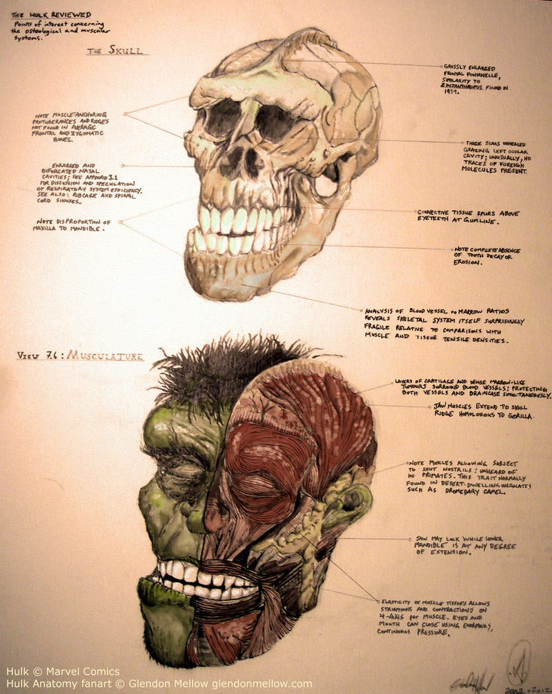 An incredible anatomical drawing of the Hulk's skull and musculature
