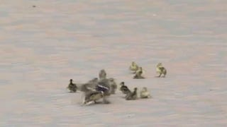 Baby Ducks: The Forgotten Victims Of The NHL Playoffs