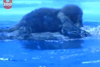 Baby Otter's First Swimming Lesson
