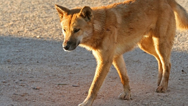 Turns Out a Dingo Really Did Eat That Lady's Baby [UPDATED]