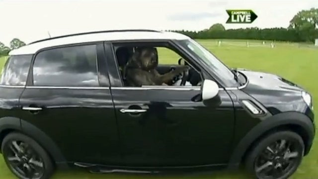 Dog Drives Man: New Zealand Trainers Are Teaching Canines to Operate Cars for Some Reason