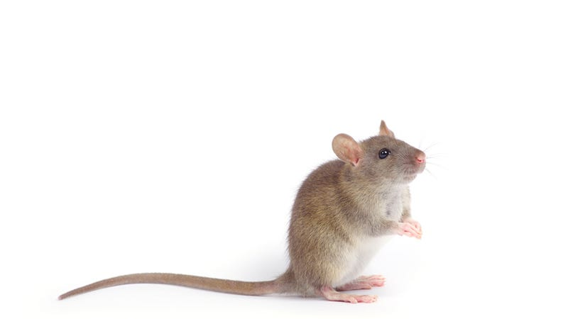 New Study Finds That Male Mice Housed Together Form Little Mice Boy Bands, Get All The Girl Mice Excited