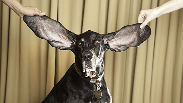 A Dog With Dumbo-Sized Ears