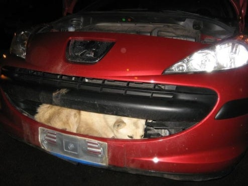 Stray Dog Survives 70 MPH Impact In Grille Of Peugeot 207