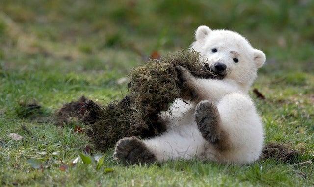 Dumb Little Polar Bear Tries To Eat Dirt